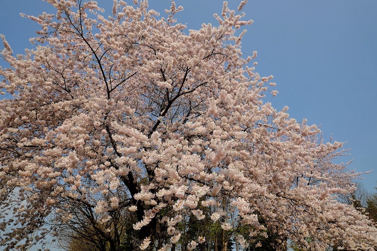 桜五月散歩道_e0051186_10415972.jpg