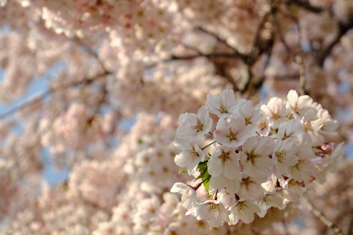 桜五月散歩道_e0051186_10421002.jpg