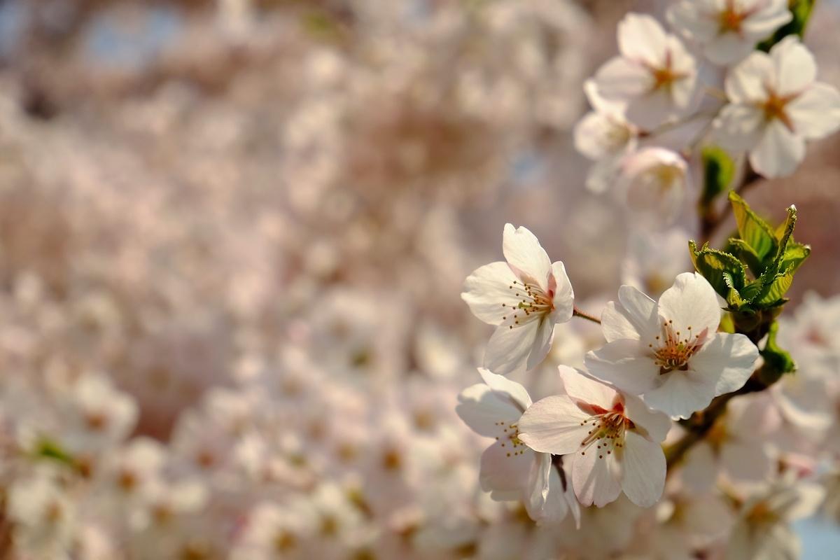 桜五月散歩道_e0051186_10421757.jpg