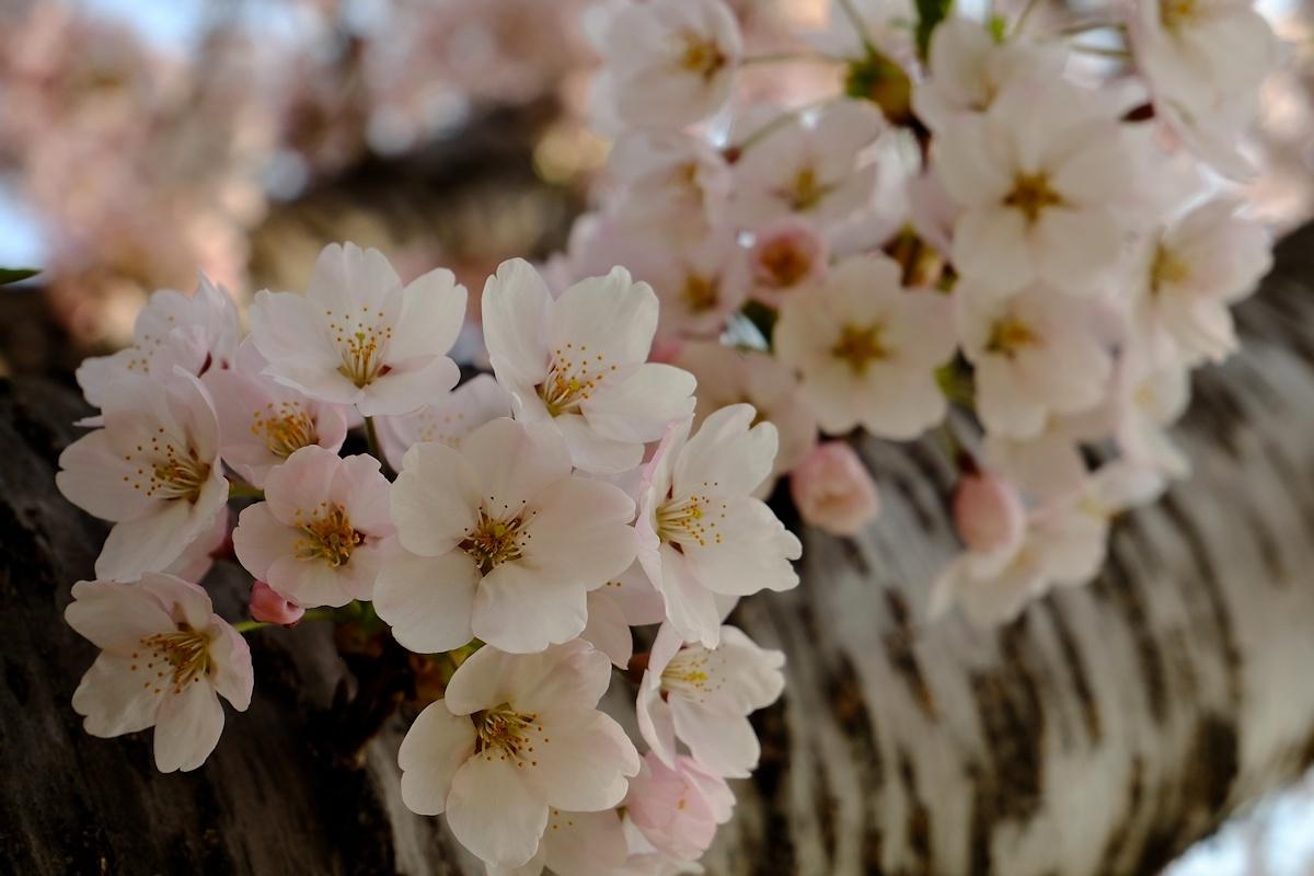 桜五月散歩道_e0051186_10422314.jpg