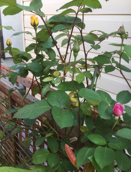 ガパオ未達ランチ、バラが開きはじめました_f0101128_14475934.jpg