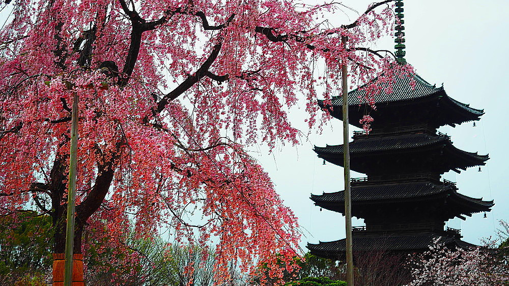 東寺 枝垂れ桜_a0287533_09540615.jpg
