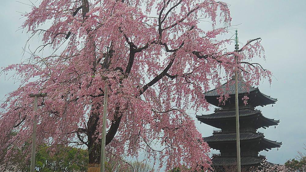 東寺 枝垂れ桜_a0287533_09540649.jpg