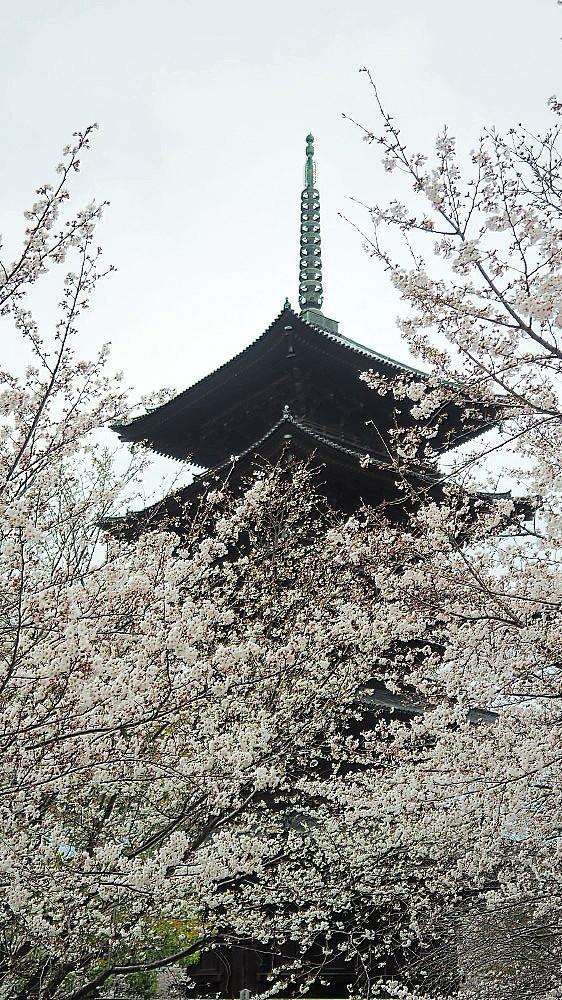 東寺 曇天の桜と五重塔と_a0287533_10034942.jpg
