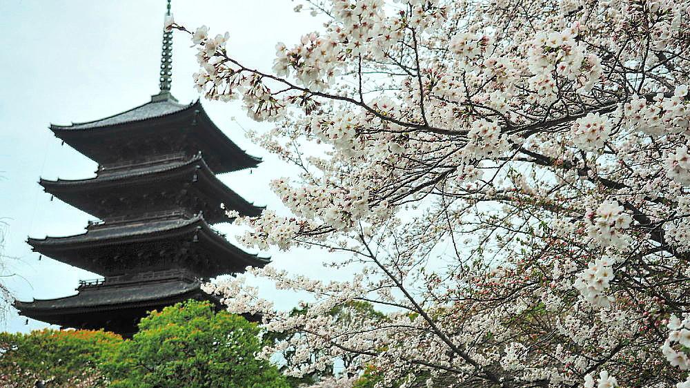 東寺 曇天の桜と五重塔と_a0287533_10035036.jpg