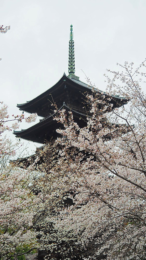東寺 曇天の桜と五重塔と_a0287533_10035068.jpg