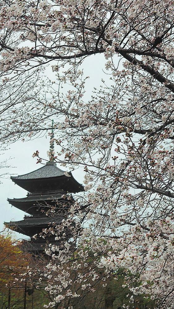 東寺 曇天の桜と五重塔と_a0287533_10035094.jpg