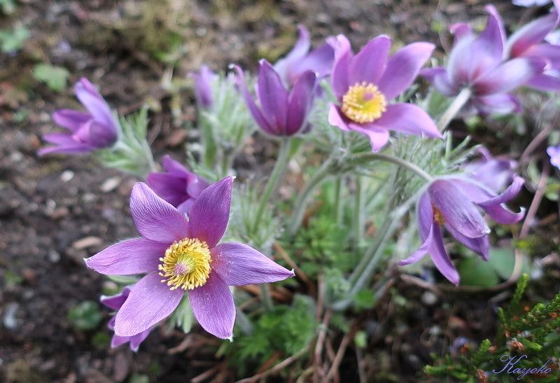 庭の花_a0353839_15053357.jpg