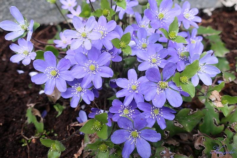 庭の花_a0353839_15054917.jpg