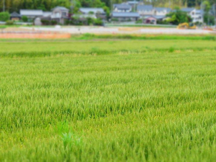 2020年5月6日 麦畑の色が変わってきました !(^^)!_b0341140_17254031.jpg