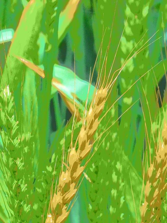 2020年5月6日 麦畑の色が変わってきました !(^^)!_b0341140_17272395.jpg