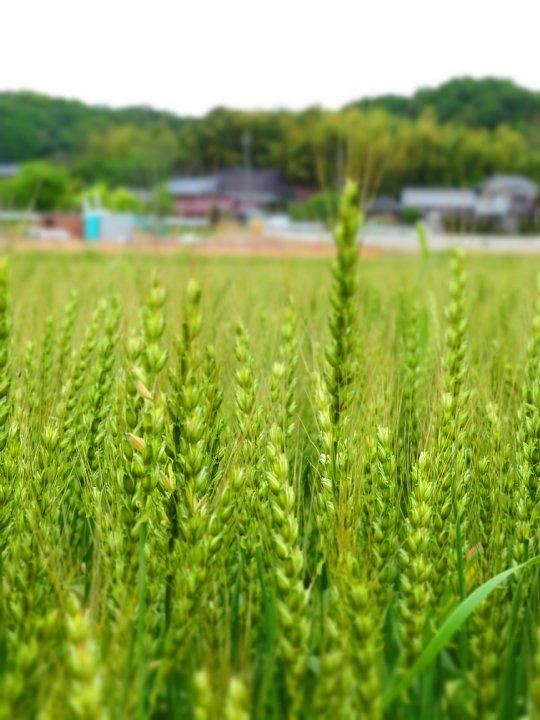 2020年5月6日 麦畑の色が変わってきました !(^^)!_b0341140_1729468.jpg
