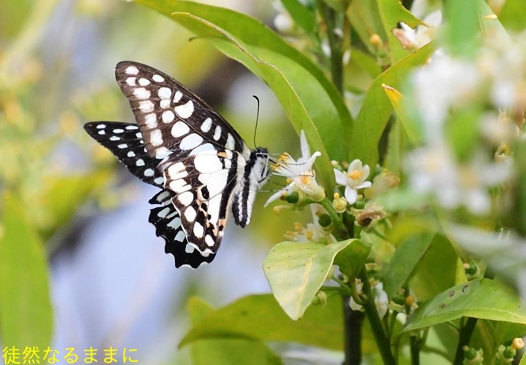 アゲハチョウ科4種の飛翔  in屋久島_d0285540_08162416.jpg