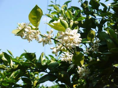 種なしかぼす 元気な新芽が芽吹いていました(2020) まもなく開花を迎えます!_a0254656_17111170.jpg