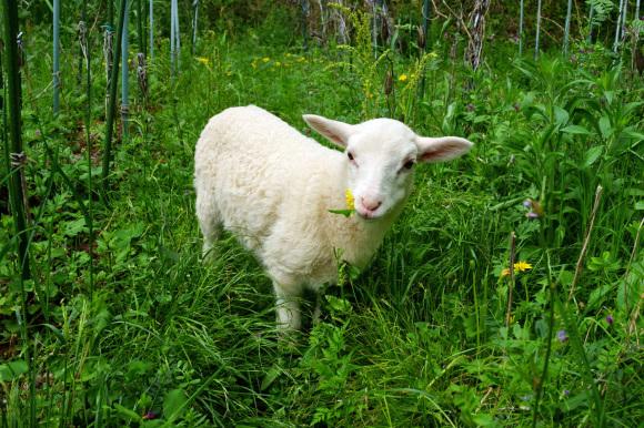 春、羊_d0231263_22071162.jpg
