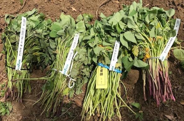 サツマイモの苗4種類、200本斜め植え5・3_c0014967_06354541.jpg