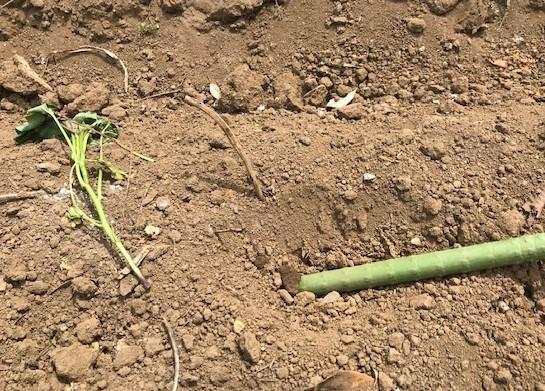 サツマイモの苗4種類、200本斜め植え5・3_c0014967_06364378.jpg