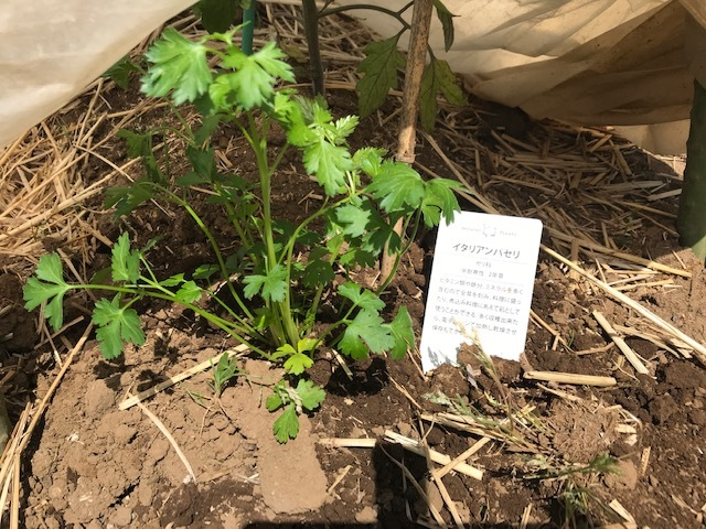 サツマイモの苗4種類、200本斜め植え5・3_c0014967_06405044.jpg