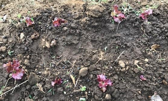 サツマイモの苗4種類、200本斜め植え5・3_c0014967_06412215.jpg