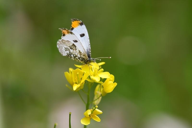 ツマキチョウのオスと春の花 Byヒナ_c0343075_22360679.jpg