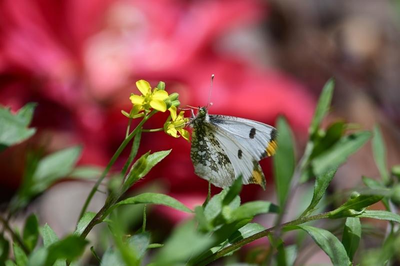 ツマキチョウのオスと春の花 Byヒナ_c0343075_22361021.jpg