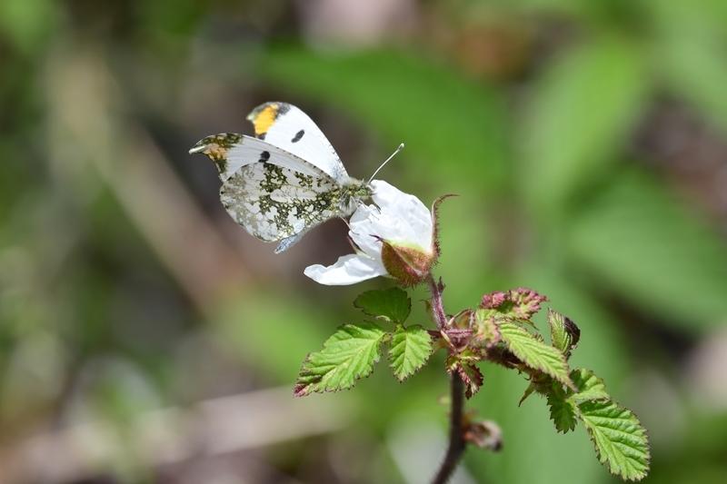 ツマキチョウのオスと春の花 Byヒナ_c0343075_22361531.jpg