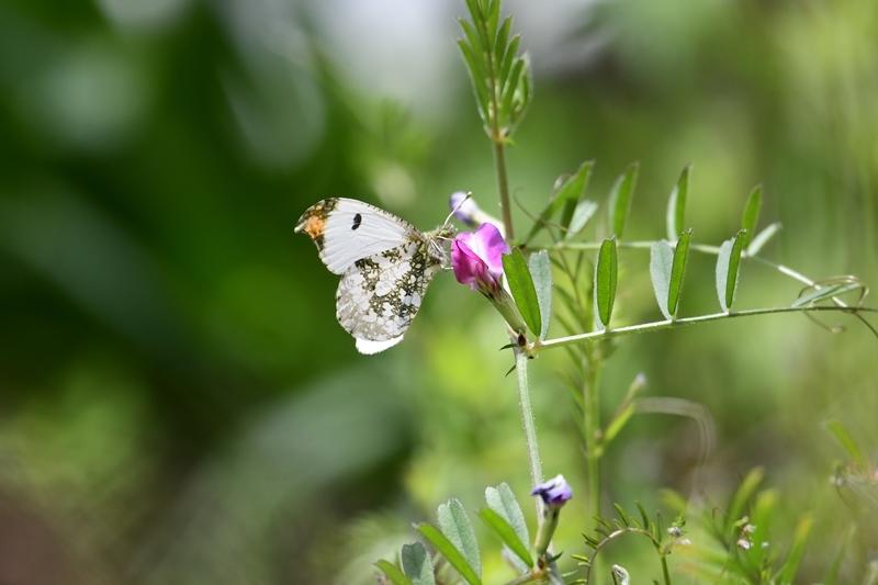 ツマキチョウのオスと春の花 Byヒナ_c0343075_22361804.jpg