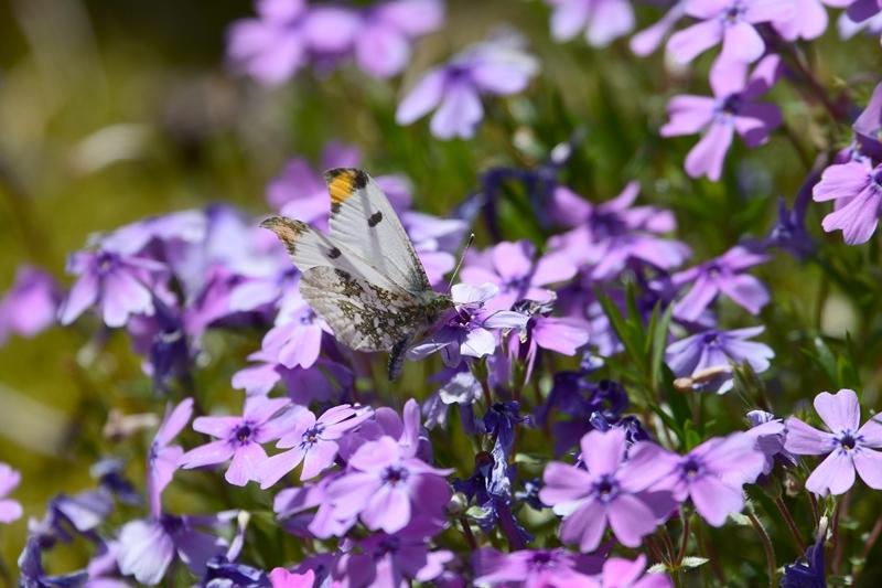ツマキチョウのオスと春の花 Byヒナ_c0343075_22362339.jpg