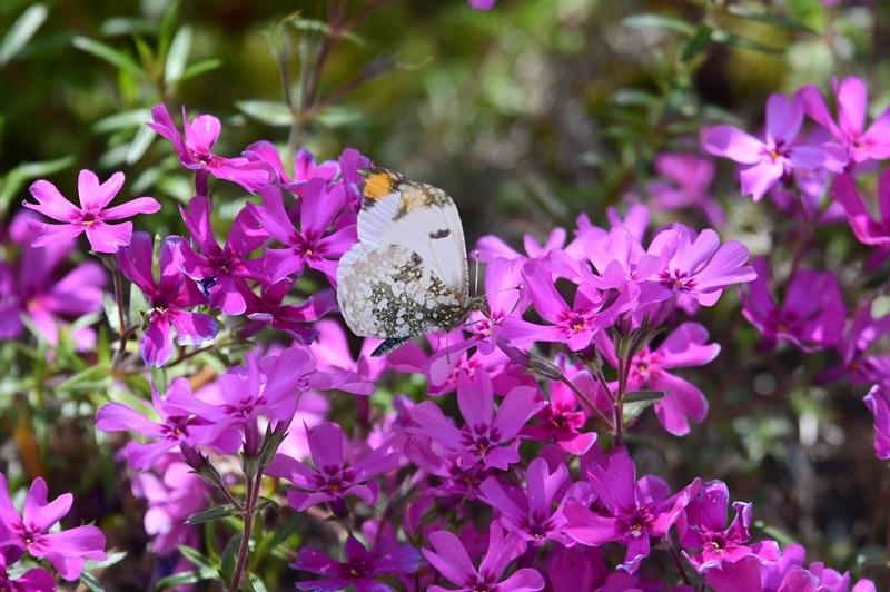 ツマキチョウのオスと春の花 Byヒナ_c0343075_22362622.jpg