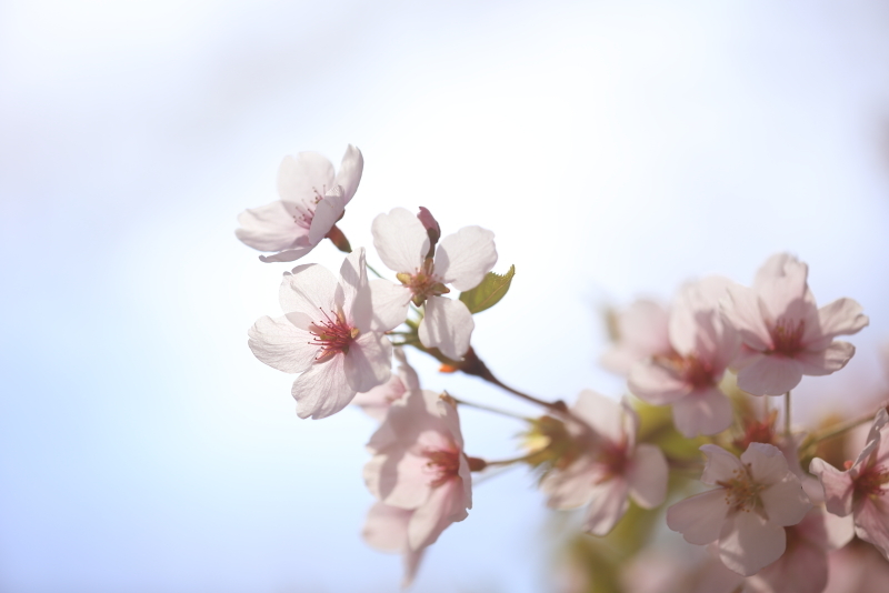 鍋倉公園の桜(2020.05.04)_f0075075_16425614.jpg
