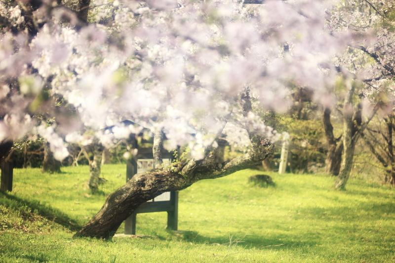 鍋倉公園の桜(2020.05.04)_f0075075_17240472.jpg