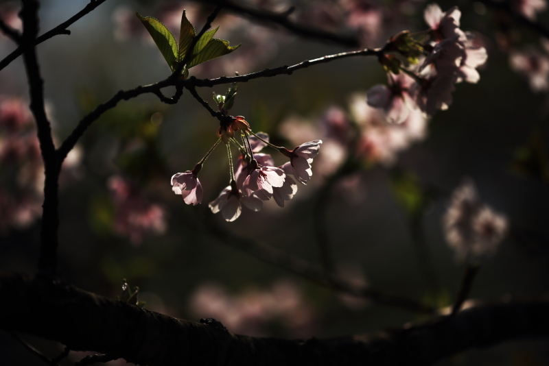 鍋倉公園の桜(2020.05.04)_f0075075_17275235.jpg