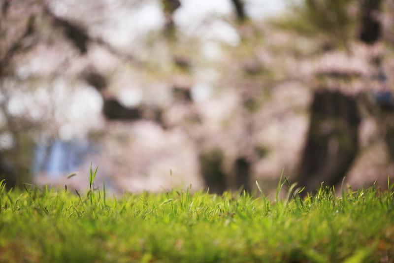 鍋倉公園の桜(2020.05.04)_f0075075_17281391.jpg