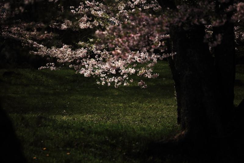 鍋倉公園の桜(2020.05.04)_f0075075_17313507.jpg