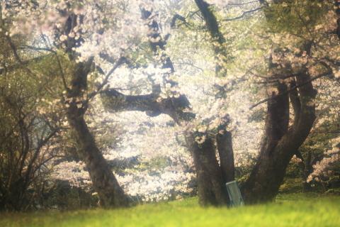鍋倉公園の桜(2020.05.04)_f0075075_17330992.jpg