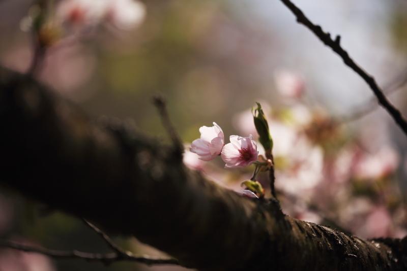 鍋倉公園の桜(2020.05.04)_f0075075_17342729.jpg