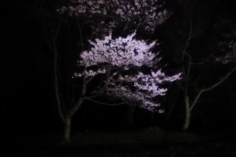 鍋倉山の桜、本丸跡のライトアップ_f0075075_22171397.jpg
