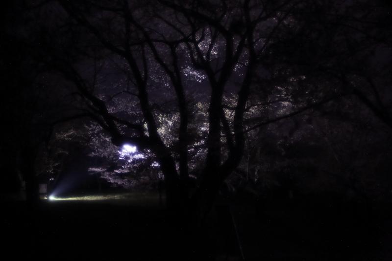 鍋倉山の桜、本丸跡のライトアップ_f0075075_22202104.jpg