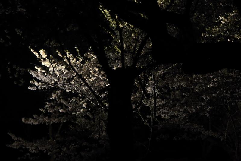 鍋倉山の桜、本丸跡のライトアップ_f0075075_22230080.jpg