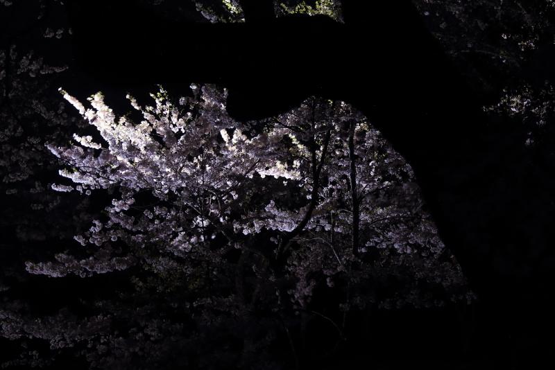 鍋倉山の桜、本丸跡のライトアップ_f0075075_22231919.jpg