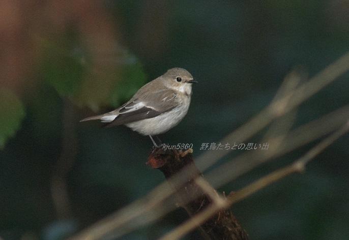 マダラヒタキ : 野鳥たちとの思い出
