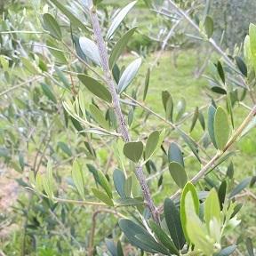 オリーブの新芽茶_a0046888_12452443.jpg