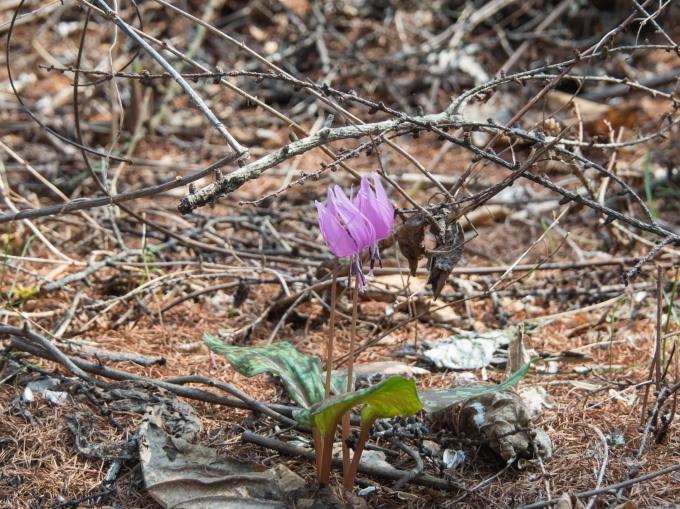 5月ですので例年通りカタクリの花も咲き始めましたが・・_f0276498_22062769.jpg