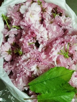 桜さくらサクラ_c0289116_20270003.jpg