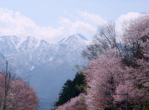 桜(今年の写真ではないです)_d0072917_09453736.jpg
