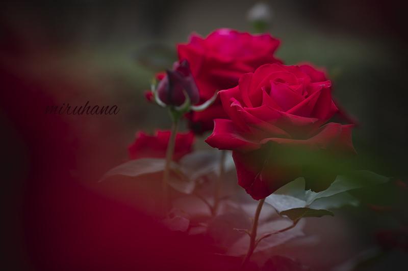 旧古河庭園の薔薇風景。_c0037519_21455368.jpg