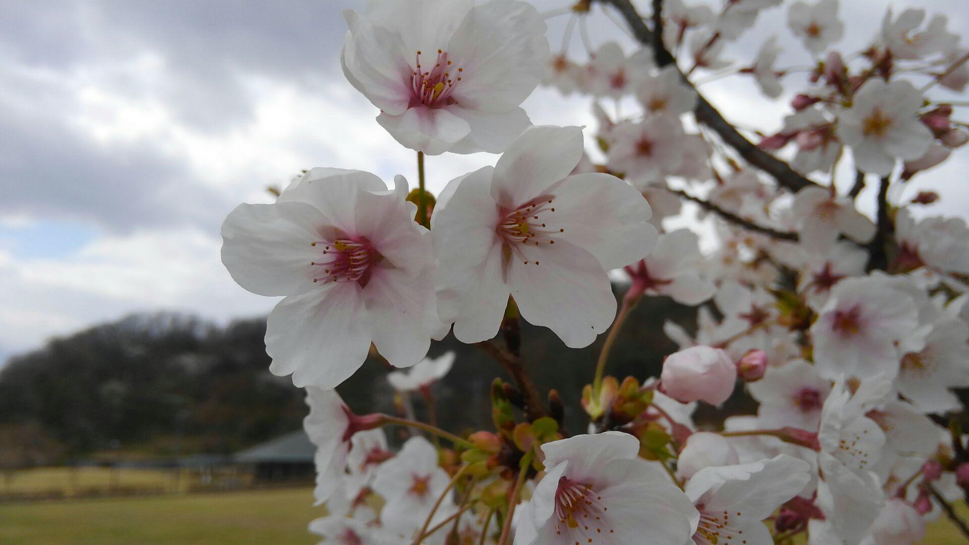 桜のロールケーキ_b0251421_15252727.jpg