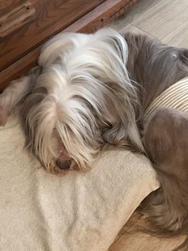 老犬ジーノもこの暑さにぐったり_e0137223_13492736.jpg