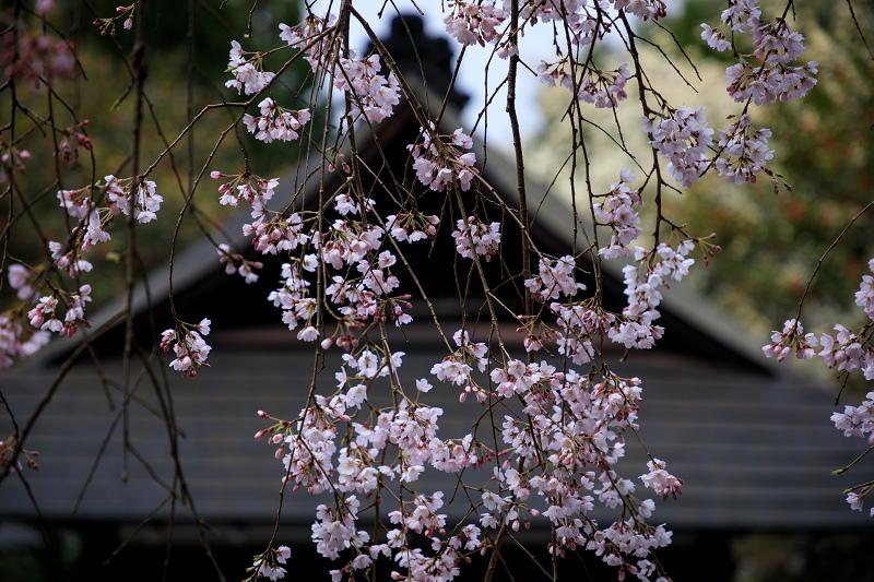 2020桜咲く京都 大豊神社の春_f0155048_20345531.jpg