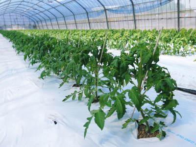 樹上完熟の朝採りトマト 元気に育成長中!そして、新品種のトマトを定植したとのこと!さっそく現地取材! _a0254656_17375544.jpg
